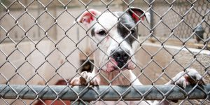 Shelter dog looking out of kennel.