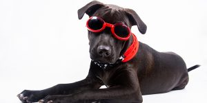 black dog laying down wearing red glasses and star-themed bandana