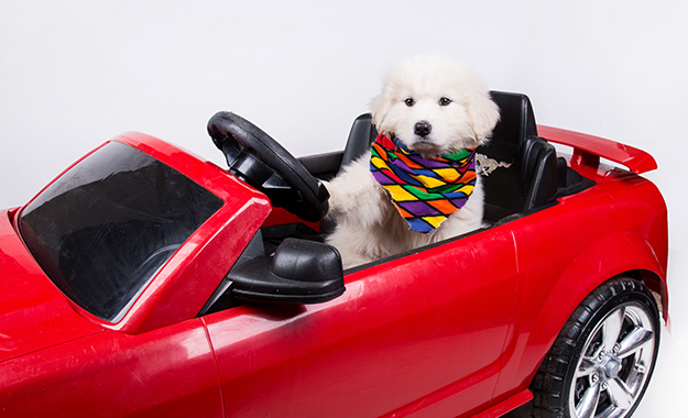 dog driving in a red car