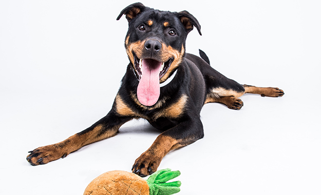 dog smiling with toy