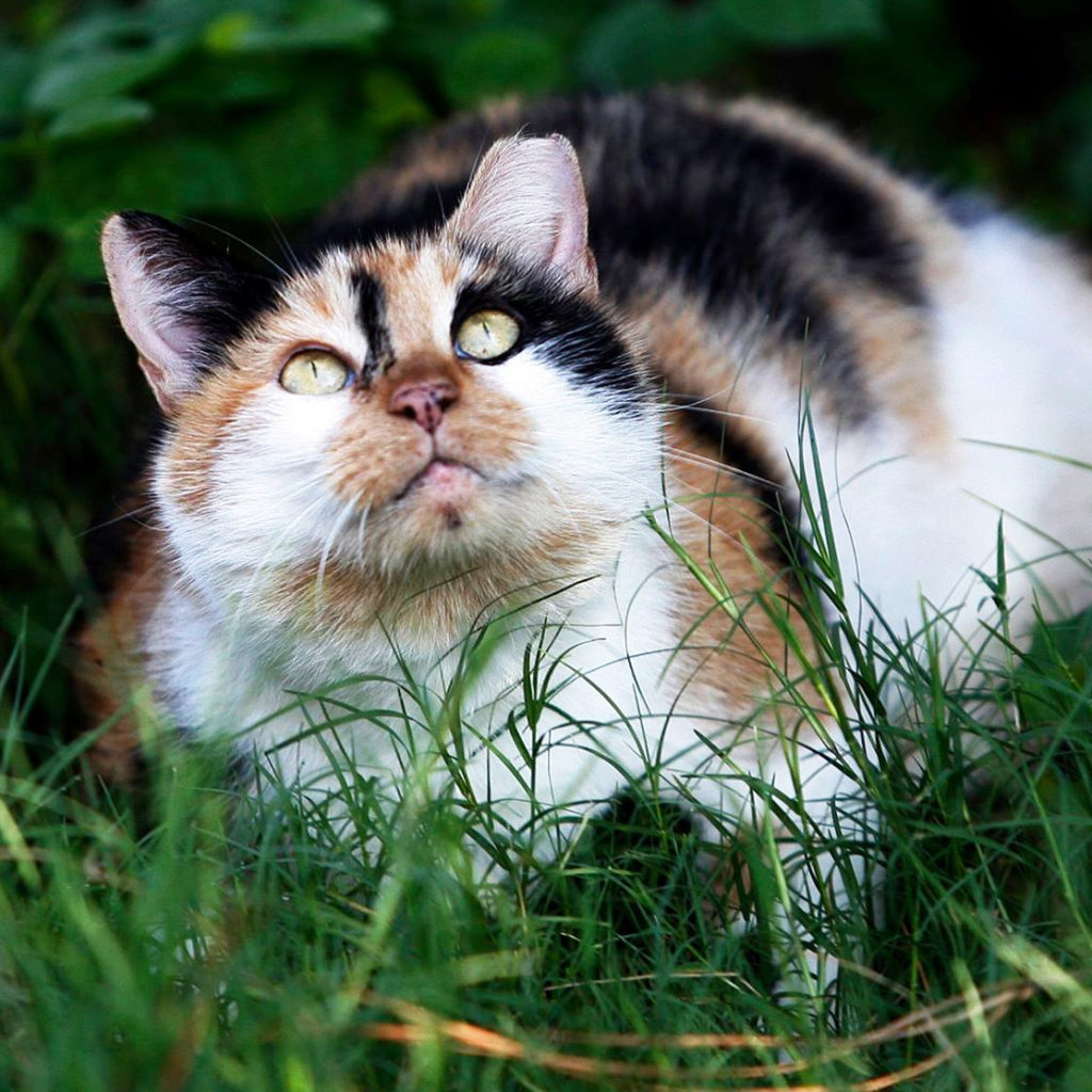calico feral cat with ear tip laying in green grass