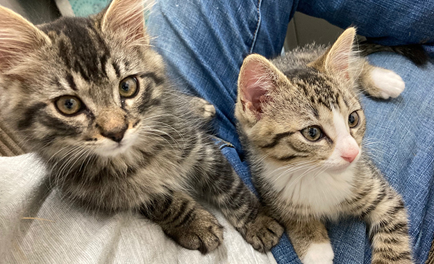Two cute foster kittens on a lap
