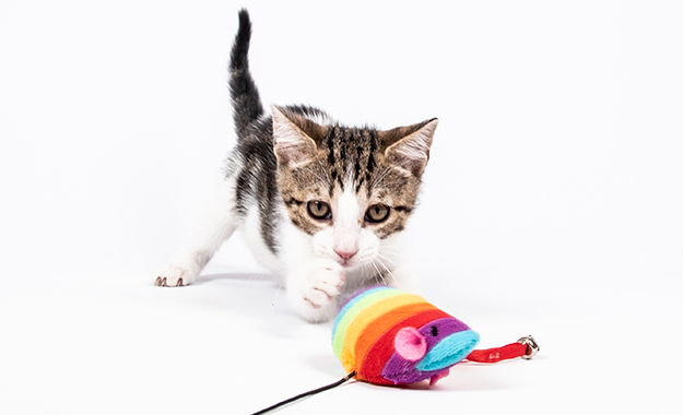 Kitten playing with a rainbow toy mouse