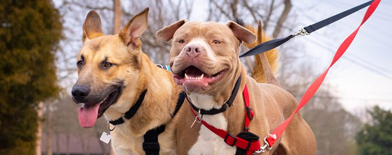 two smiling dogs going for a walk