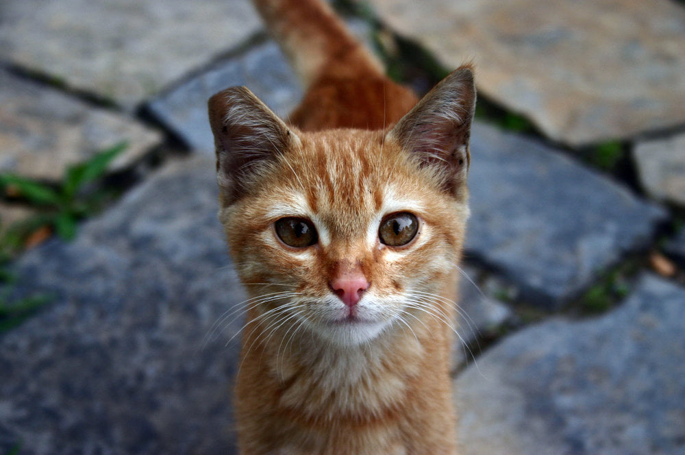 cute orange kitten looking at the camera