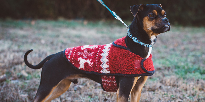 cute dog out for a walk wearing a sweater