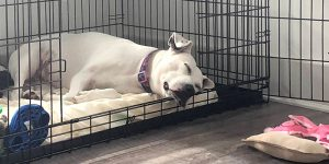 white dog sleeping inside a wire crate with the door open