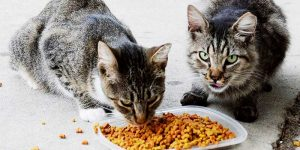 two outdoor cats eating dry kibble from a food dish