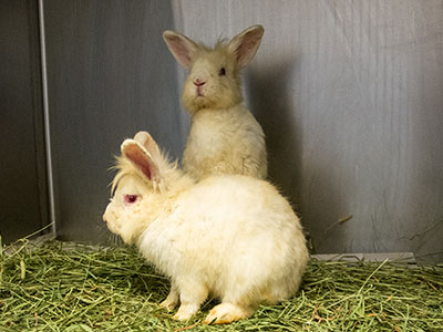 two sickly rabbits in a cage