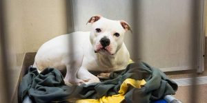 white sad-looking dog in a shelter kennel