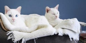 two white cats laying down side by side