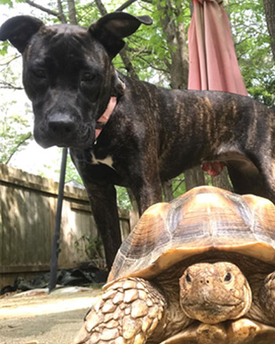 A dog named Cali and her sulcata tortoise friend Rocky