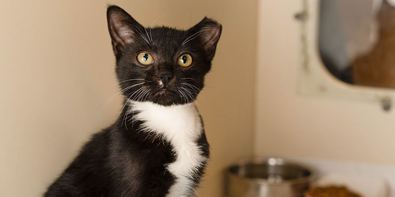 black and white cat with an ear tip